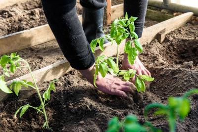 Mise en terre de plants de tomate en mai